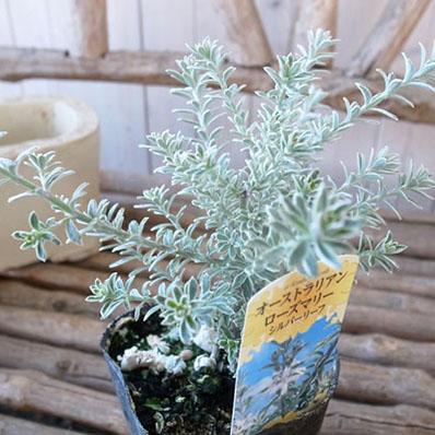 完売 オーストラリアンローズマリー斑入りホワイト 別名ウエストリンギア 買い物 白い花も咲かせます 販売 通販 種類
