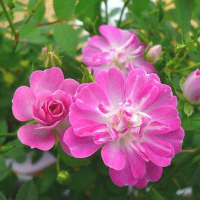 Potted Miniature Rose Range 3 5 Issue Is A Pink Flower Charm Roses And Enjoy Year Round Flowers Pot Type