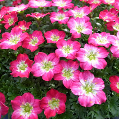 Adorable flower in dome-shaped thick clouds grass red flowers No. 6 pot Potted flowers! big! Flower flower selling mail-order type 10P05Sep15