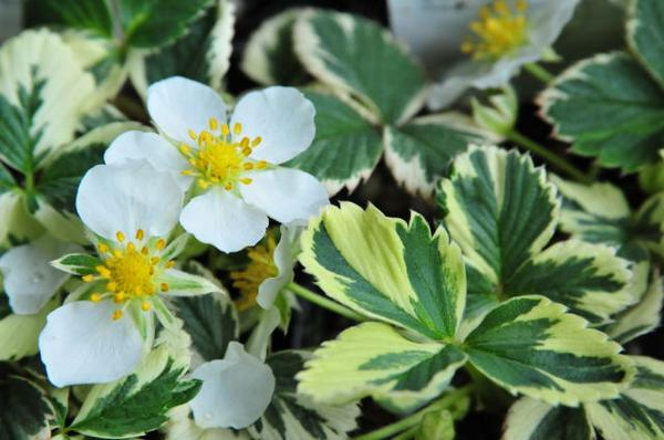 Rare Strawberry leaves of variegated marble Strawberry fruit is so cute! Rose of perennials with colorful variegated leaves are lovely Strawberry sales mail order types