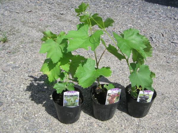 Three kinds of delicious true ♪ grape seedling sets. Muscat, Koshu, 巨峰
