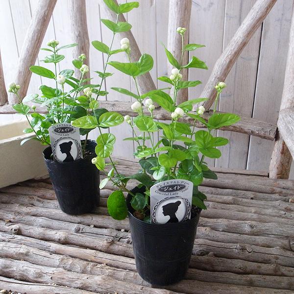 auc gifuryokuen arabian jasmine jade 4 issue size flowers potted pot flower arabian jasmine pot. Black Bedroom Furniture Sets. Home Design Ideas