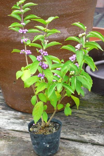 植物 紫式部 価格