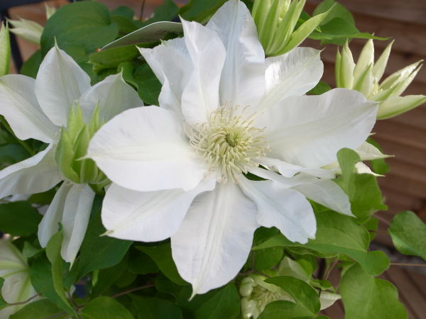 Auc gifuryokuen pure white flowers charm clematis kitahama 5 size pure white flowers charm clematis kitahama 5 size potted pot flowers gift gifts sold mail order types mightylinksfo