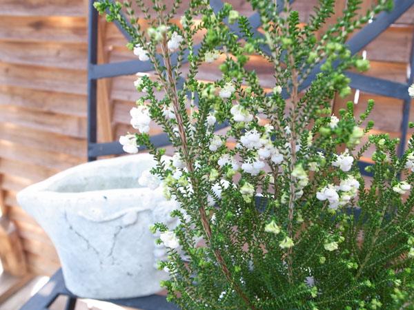 릴리 에리카 4 호 화분 ♪ 릴리 같은 하얀 작은 꽃이 귀여운/청 초로 오래 꽃/판매/통 판/종류/상록 관목/싹이 가득/