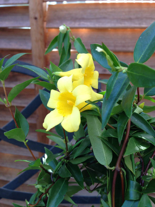 Auc gifuryokuen rakuten global market carolina jasmine 4 size carolina jasmine 4 size potted flowers bloom one after another and yellow florets are strong outdoors okay bud with selling mail order type 10p03dec16 mightylinksfo