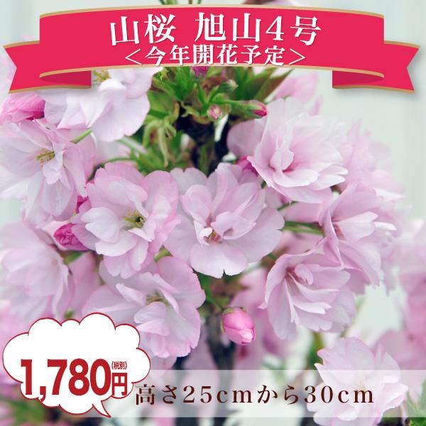 Auc gifuryokuen rakuten global market wild cherry cherry blossom wild cherry cherry blossom cherry bonsai asahiyama no4 room sakura cherry blossoms mightylinksfo
