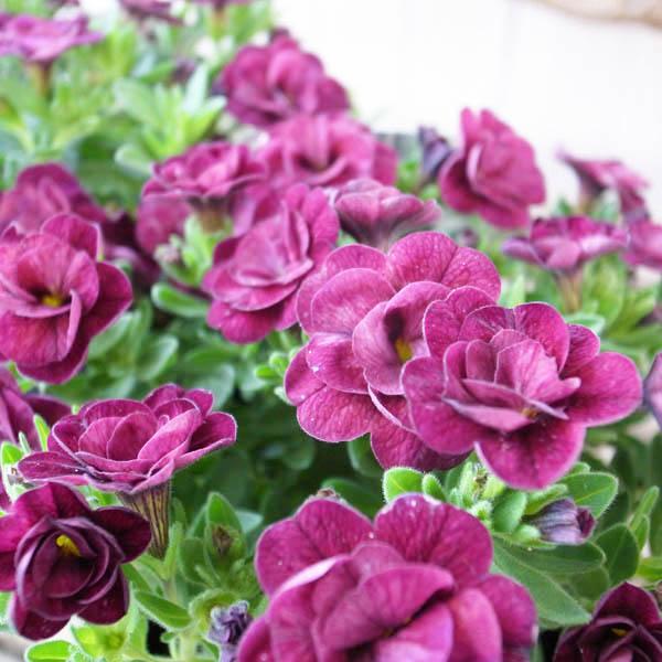 今までにないアンティークな花色が魅力の最新品種 カリブラコアティフォシー マウンティングタイプ は特につける花の数が多く晩秋まで長期間花を楽しむことができます 多年草 カリブラコア 苗 ティフォシー アンティーク パープル 半耐寒性多年草 紫 夏の花 No11 八重咲き ペチュニア セール特価品 3.5号サイズ 新品種 使い勝手の良い おしゃれ
