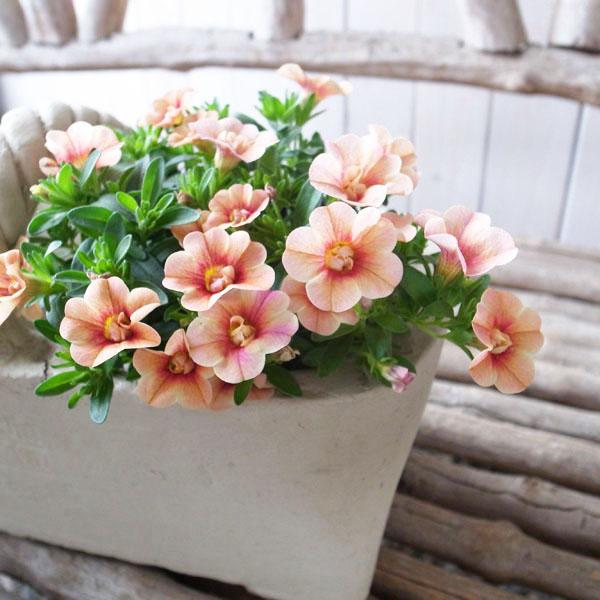 カリブラコア 苗 ティフォシー アンティーク オレンジ No38 新品種 輸入 3.5号サイズ 花芽付 八重咲き ブランド品 ペチュニア
