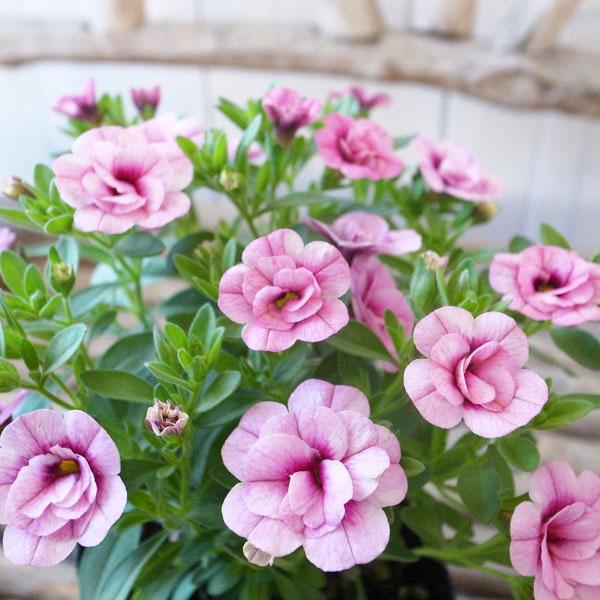 特につける花の数が多く晩秋まで長期間花を楽しむことができる 2cm程 八重咲の花をつけることが特徴 日光のよく当たる風通しの良い場所がオススメ カリブラコア 苗 ティフォシー エレガンス 大決算セール パープル 3.5号サイズ 新品種 夏の花 E04 ピンク ペチュニア 価格 交渉 送料無料 八重咲き 花芽付 おしゃれ