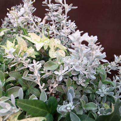 寄せ植えに一押し 小葉のシルバーリーフが魅力 3号サイズのポット苗となります 初売り オレアリア リトルスモーキー 通販 種類 結婚祝い 花苗 シルバーリーフ 販売