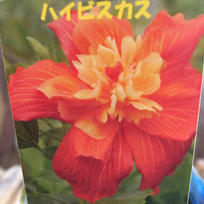 Auc Gifuryokuen The Hibiscus Flower Seedling Sale Mail Order Kind
