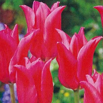 チューリップ 富山の清流チューリップA プリティーレディ5球セット 球根 Tulip 販売 9 ちゅーりっぷ 種類 国内在庫 30より発送 期間限定の激安セール 通販 チューリップ球根