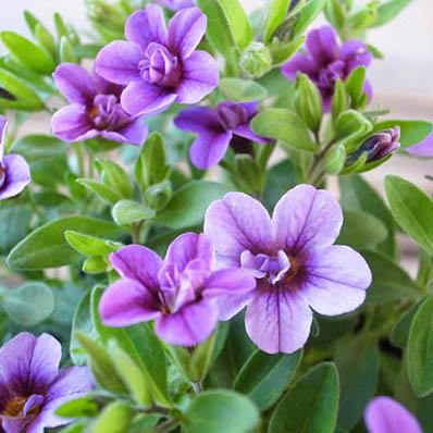 カリブラコア ティフォシー ダブル ラベンダー 紫 3.5号苗 花芽付 ガーデン 新作続 パープル 植物 八重咲き 絶品 販売 ペチュニア ガーデニング