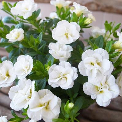 今までにないアンティークな花色が魅力の最新品種 カリブラコアティフォシー 人気 おすすめ マウンティングタイプ は特につける花の数が多く晩秋まで長期間花を楽しむことができます 至高 多年草 カリブラコア ティフォシー ダブル ホワイト 販売 白 ガーデニング ガーデン ペチュニア 3.5号苗 花芽付 植物 八重咲き
