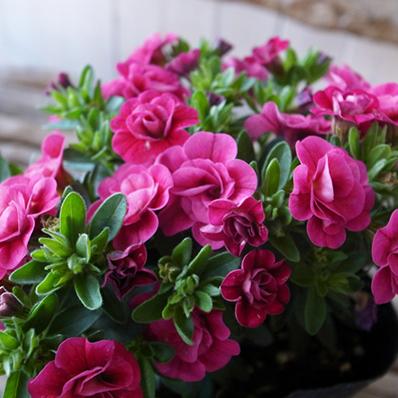特につける花の数が多く晩秋まで長期間花を楽しむことができます 最新号掲載アイテム 2cm程の可憐で可愛らしい花をつけることが特徴です カリブラコア ティフォシー ダブル ローズピンク レッド 花芽付 格安激安 3.5号苗 ガーデニング 八重咲き おしゃれ ガーデン 販売 ペチュニア 夏の花 植物