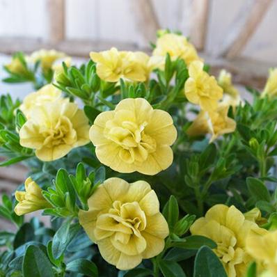 特につける花の数が多く晩秋まで長期間花を楽しむことができる 2cm程の花をつけることが特徴 日光のよく当たる風通しの良い場所がオススメ 奉呈 カリブラコア ティフォシー ダブル イエロー 黄色 植物 八重咲き ガーデニング 3.5号苗 ガーデン 半額 販売 花芽付 ペチュニア