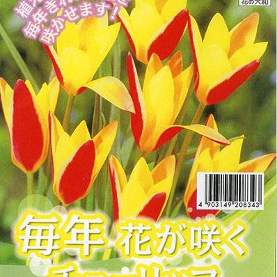 チューリップ 入荷予定 クルシアナシンシア7球セット 植えっぱなしで毎年花が咲く ちゅーりっぷ 9 球根 30より発送 お金を節約