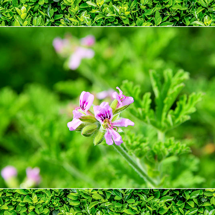 Insect repellent mosquito repellent herbal geranium herbzela continuum herbal geranium geranium pink flower garden