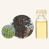 日本アロマ環境協会 表示基準適合認定精油 【GET! 生活の木 エッセンシャルオイル ヒバ 3mL】 エッセンシャルオイル アロマオイル 精油 アロマ