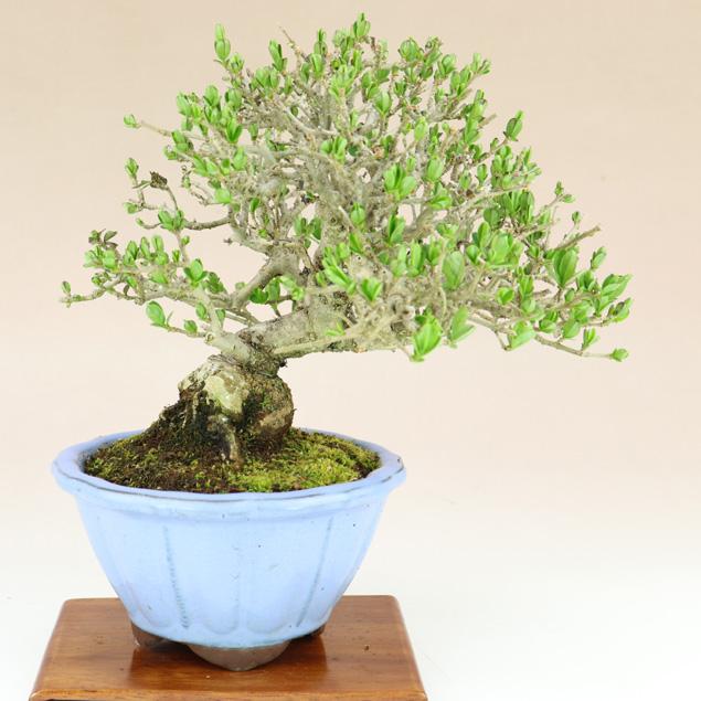【送料無料】 イボタ(小品盆栽) 【雑木盆栽】いよじ園