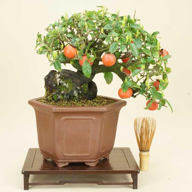 送料無料【貴風盆栽】常磐柿/カキ【実物盆栽】