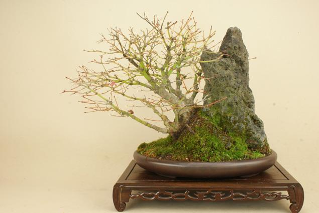 盆栽専門店が自信を持ってお届けします 【送料無料】 山モミジ 石付 中品盆栽 (いよじ園)