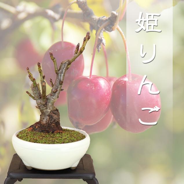 盆栽専門店が自信を持ってお届けします 【送料無料】 姫リンゴ ミニ盆栽 本格盆栽造り樹形 最高級肥料1年分プレゼント【いよじ園 伊予路園】