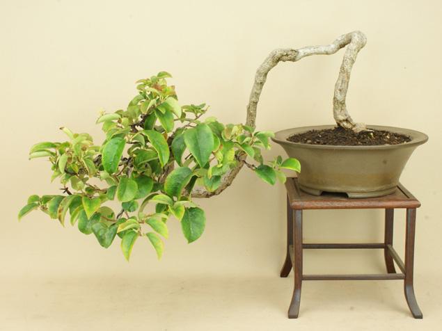 (送料無料)ルリビョウタン / 瑠璃瓢箪 中品盆栽(いよじ園)