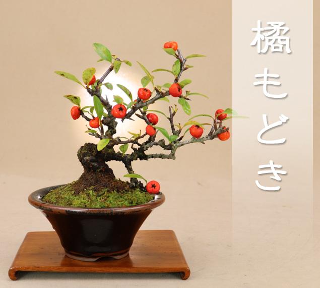 盆栽専門店が自信を持ってお届けします 【送料無料】 橘モドキ ミニ盆栽 樹齢12年 【雑木盆栽】いよじ園