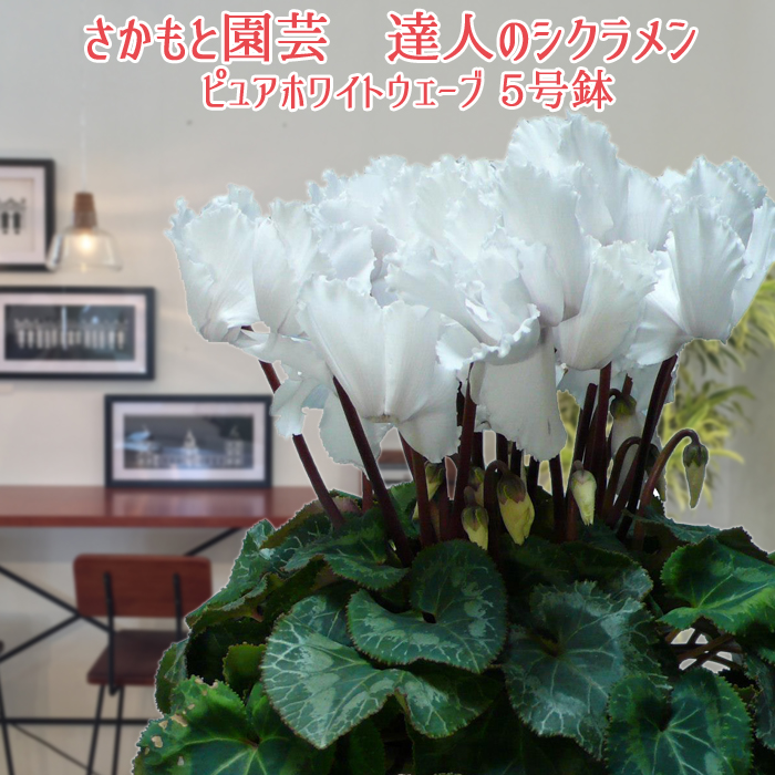 i wrap the cyclamen potted plant gift new years greetings present christmas present good luck gold