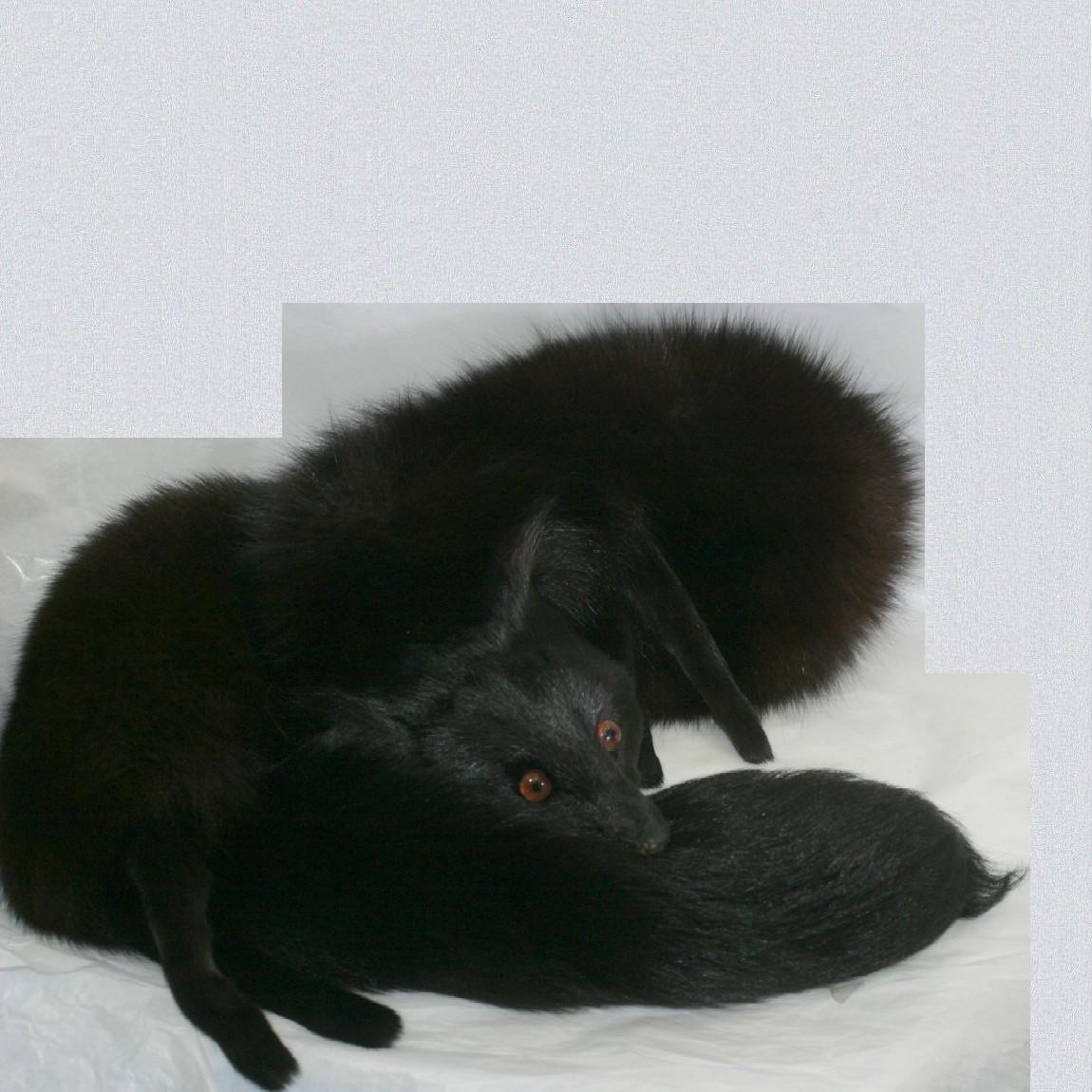 【中古】本物綺麗女性用全長120cm女性用の黒xブラウン色狐【フォックス】の襟巻き