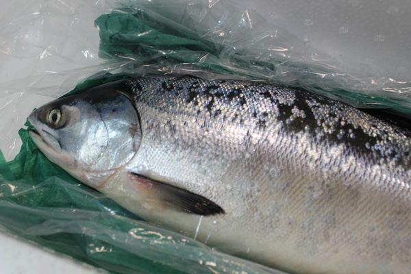 北海道産時鮭(ときしらず)3~3.5kg前後〔B〕北港直販☆しゃけ・シャケ〔同梱不可〕〔着日指定に対応できない場合有〕