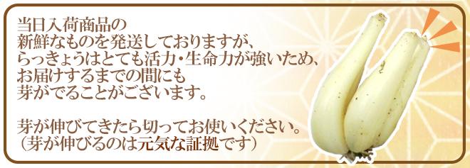 """土らっきょう 鹿児島産 """"砂丘らっきょう"""" 秀品 Lサイズ 約5kg【予約 5月中下旬以降】"""