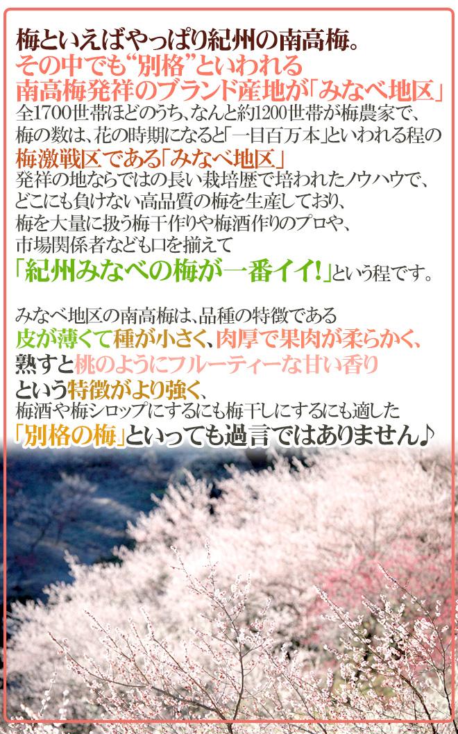 """紀州・和歌山産 """"みなべ南高梅 青梅"""" 秀品 2L 約10kg【予約 5月中旬~6月初旬】"""