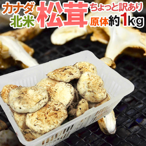 """【送料無料】カナダ・北米産 """"松茸"""" 約1kg 原体・ほんのちょっと訳あり 大きさおまかせ【予約 9月中下旬以降】"""
