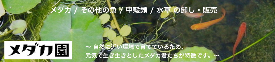 メダカ園(メダカ動画):メダカの通販サイトです。観賞用の淡水魚や水草も扱っています