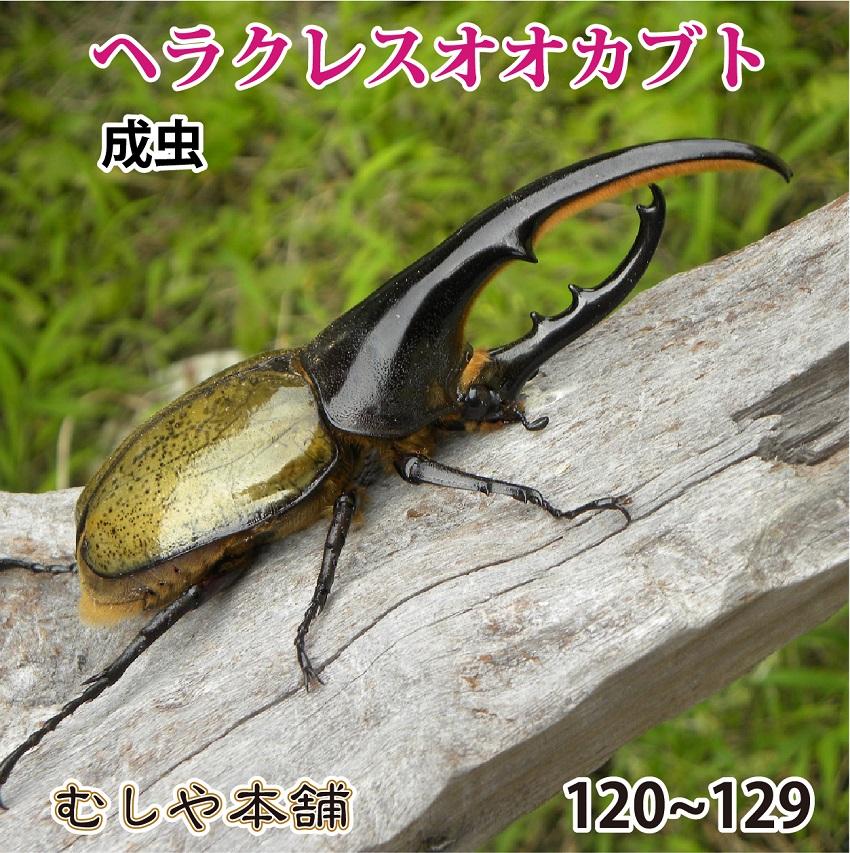 送料無料【ヘラクレスオオカブト成虫 オス120mm~129mm(ヘラクレスヘラクレス)】 外国産 カブトムシ 昆虫 生体 ペット 消費税込 プレゼントに