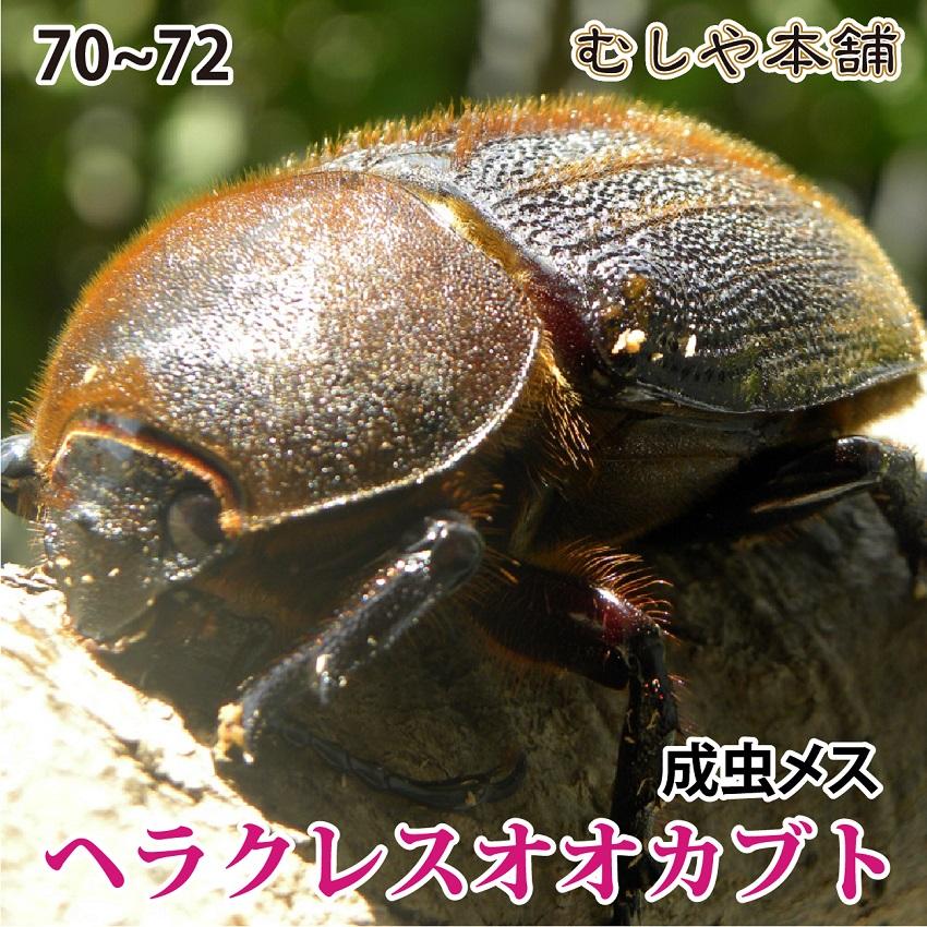 送料無料!【ヘラクレスオオカブト成虫メス70~72mm(ヘラクレスヘラクレス)】 カブトムシ 外国産 ペット 昆虫 生体