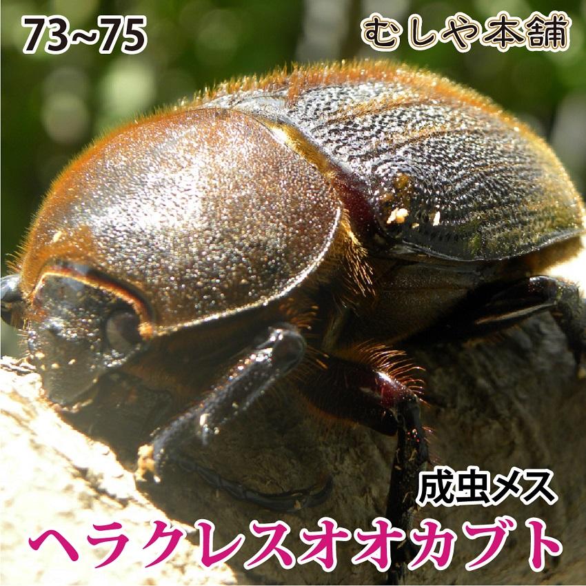 送料無料!超大型!【ヘラクレスオオカブト成虫メス75~77mm(ヘラクレスヘラクレス)】 カブトムシ 外国産 ペット 昆虫 生体