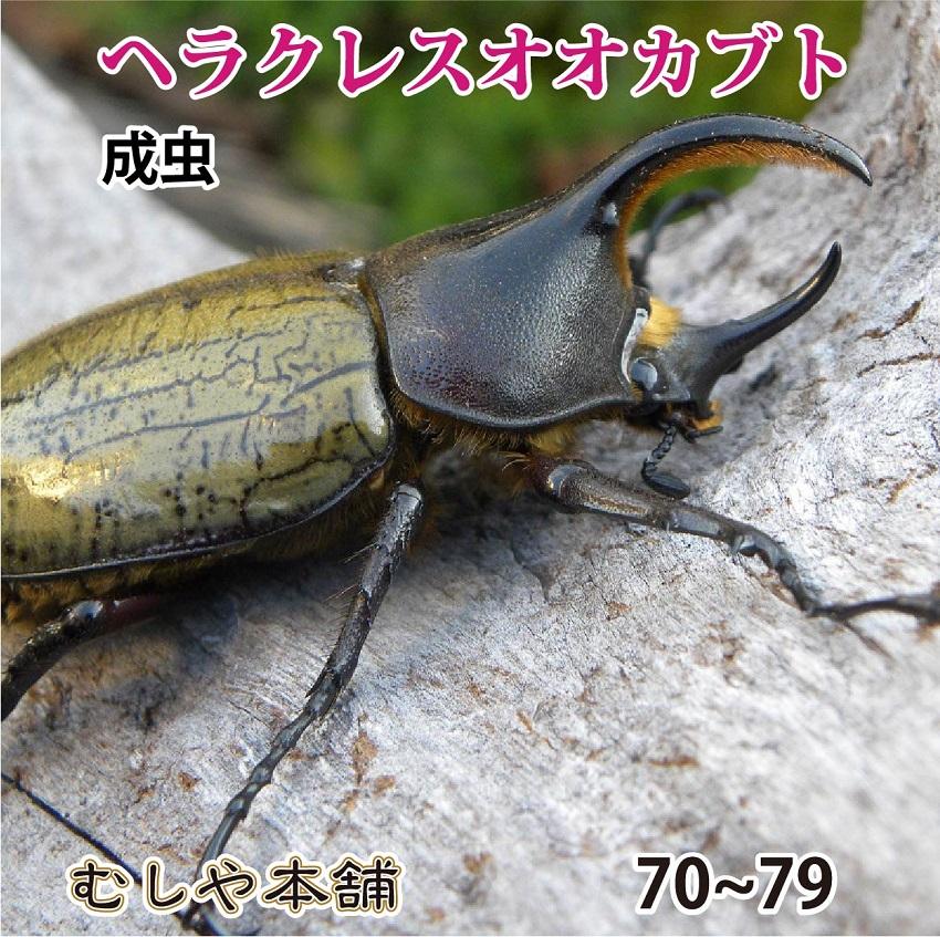 とってもカワイイヘラクレスですよ 送料無料 ヘラクレスオオカブト 成虫 オス 90ミリ以上 ヘラクレスヘラクレス ペット プレゼントに 昆虫 オンラインショップ 日本製 外国産 生体 カブトムシ