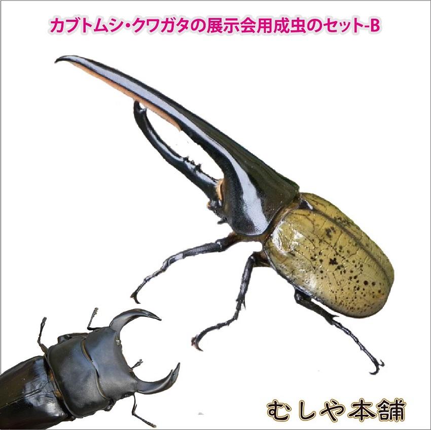 カブトムシ・クワガタの展示会用成虫のセット-B(大型7種類)【大口・大量購入】