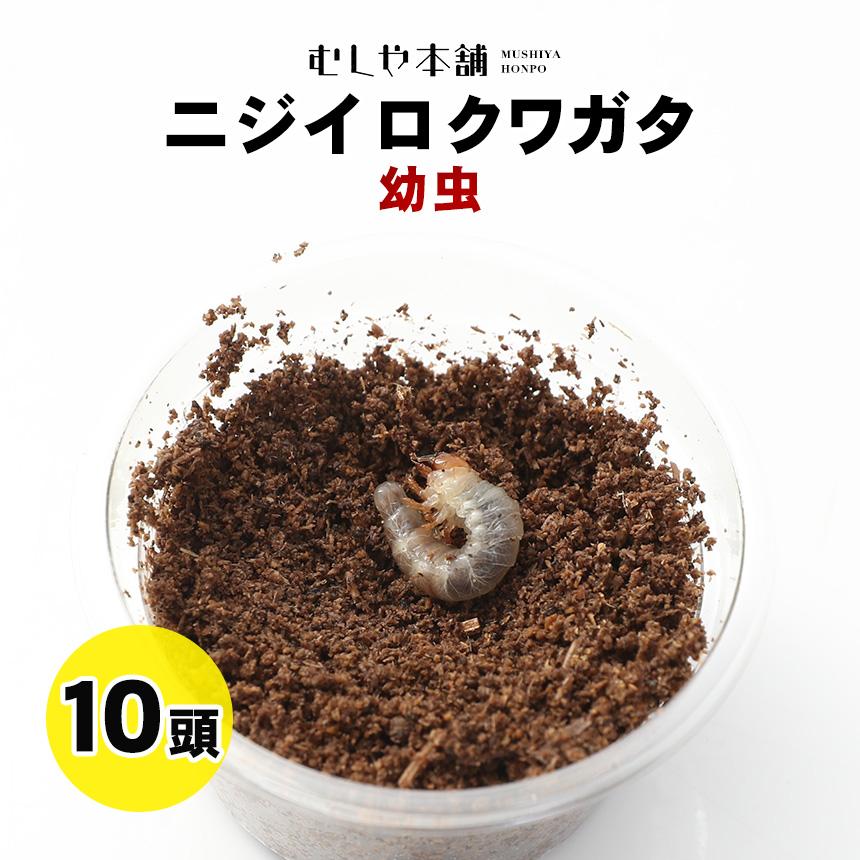【ニジイロクワガタ幼虫 1~2令10頭】「大口・大量購入」外国産クワガタ クワガタ幼虫 生体 昆虫
