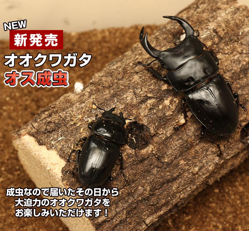【国産 オオクワガタ 成虫 オス Mサイズ】 クワガタ 昆虫 飼育 ブリード 生体 ペット