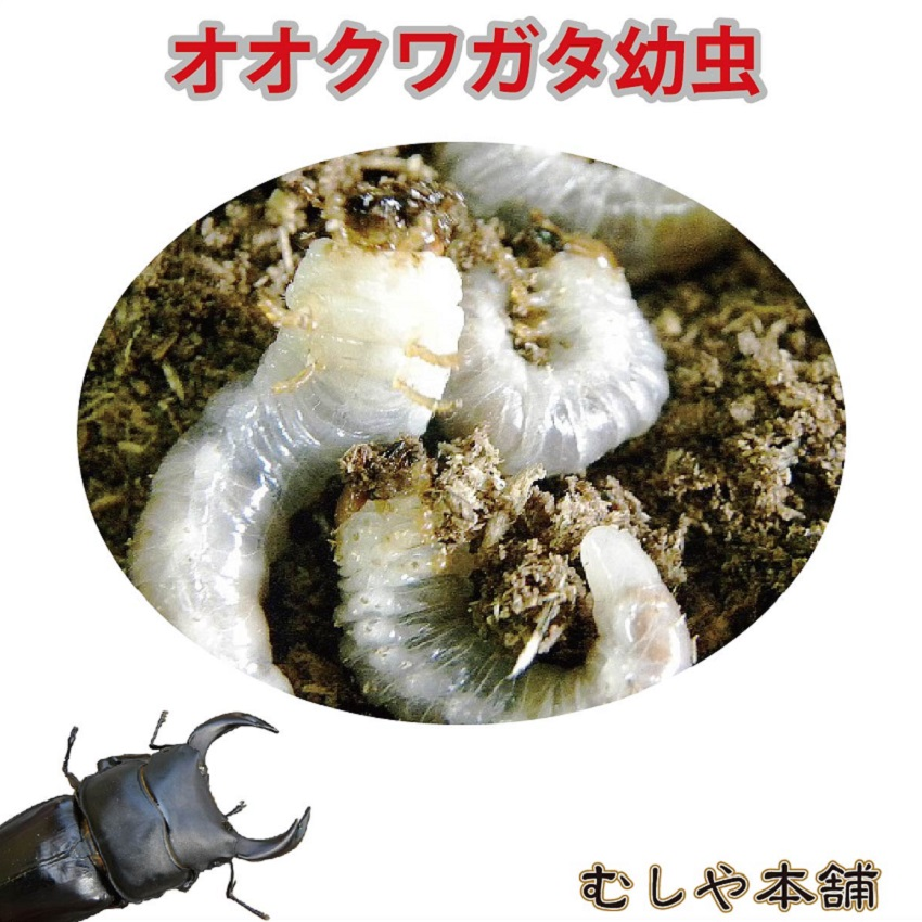 【国産 オオクワガタ幼虫 1~2令 50頭】クワガタ幼虫 大口・大量購入