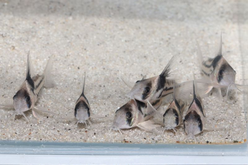 コリドラスコルレア ブリード個体 7匹セット160414-8