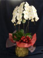 [開店祝 花][事務所移転祝の花][会社設立祝花][昇進のお祝い花]にも[白胡蝶蘭]05P01Nov14【HLS_DU】【楽ギフ_メッセ入力】