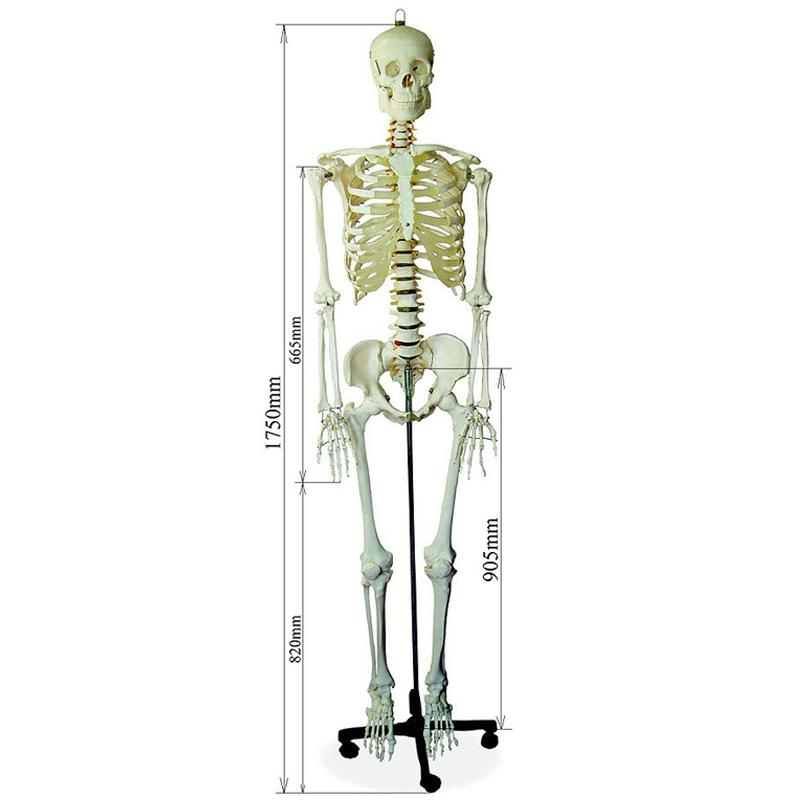 人体骨格模型【ヒューマンスカル】■等身大の骨格をリアルに表現■175cm/新品
