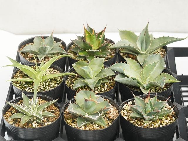 当店人気の アガベ 品種見計らい5種 5ポットセット(3号ロングポット植え)