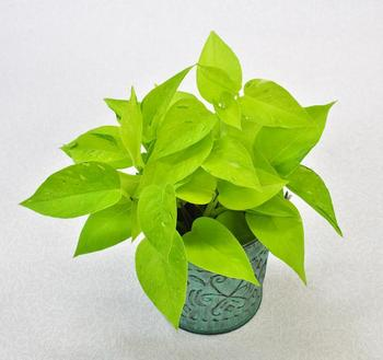 人気観葉植物ライムポトス